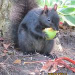 Lots of squirrels abound including black squirrels.