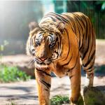 Bengal tiger at Bali Zoo