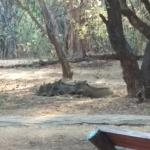 warthogs sleeping outside chalets