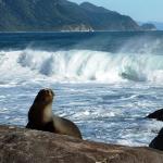 NZ fur seal Martins Bay
