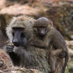 Baboon with child at Baboon Point, Lake Nakuru