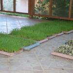 buğday çimleri