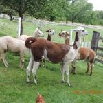 "Al's alpacas with llama ""guard"""