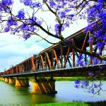 Clarence River just up the road. Grafton's iconic jacaranda trees