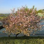 動物園そばの桜