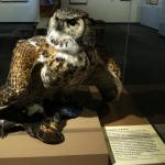 Great horned owl with peregrine falcon