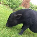 Lucy our micropig