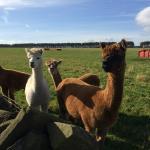 Our friendly alpacas