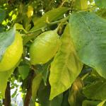 En la casa ...sus limones,kiwis y fresitas