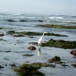 egret winter tidepools at Swami's Beach