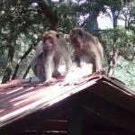 Pinede des singes
