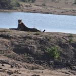 Cheetah bij een waterplaats