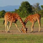 Giraffe in Masai Mara park