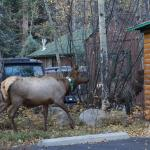 Elk visiting