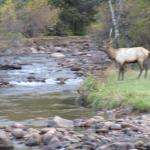 From cabin deck at evening. Small band of elk.