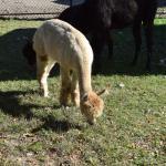 A Llama at the Forsyth Nature Center