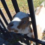 A newly arrived baby goat at the Forsyth Nature Center