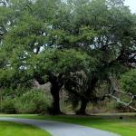 Majestic oak welcomes us home