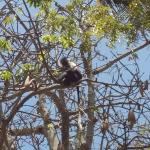 Colobus monkey in the trees at the camp site