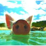 Swimming Pig ; - ))