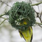 Weaver busy building a nest for his girlfriend