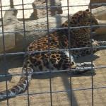 Panthera Pardus Orientalis / Amur Leopard