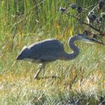 Heron fishing in the pond in front of our rental.