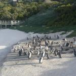 Penguin Colony in Simonstown