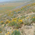 Antelope Valley California Poppy Reserve Foto