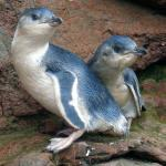 2 characteristic White flippered penguin chicks.