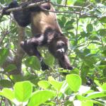 Howler monkeys in the trees by the beach