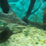 peces2