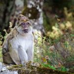 Barbary Macaque Awareness and Conservation