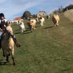 se faire courser par les vaches