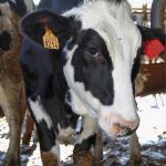 Vacas de la granja que hay junto a la casa