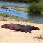 Sunbathing hippos on our 2nd safari