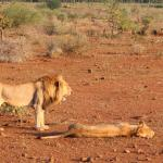 Amazing view of lions on our sunset safari