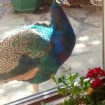 George the Peacock