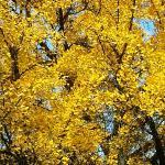 """""""L'arbre aux quarante écus"""""""