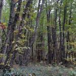 bosques de castaños