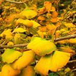 Dalunshan Tea Garden Ginkgo Forest