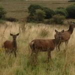 Small family group of hinds in Keils