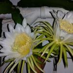 Cactus flowers at night once a year amazing