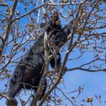 Male Black Bear harvesting acorns - near milepost 55, Skyline Drive - copyright A. E. Hass