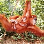Orangutan Responsible Tour - Day Tours
