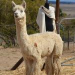 The Alpaca Loom Coffee Shop & Weaving Studio