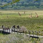 Blick auf die Plattform mit Giraffen