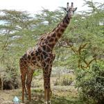 Giraffe in der Lodge