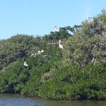 Tons of pelicans in the trees