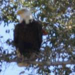 One of the two bald eagles we saw that day. High in a tree, back of lake